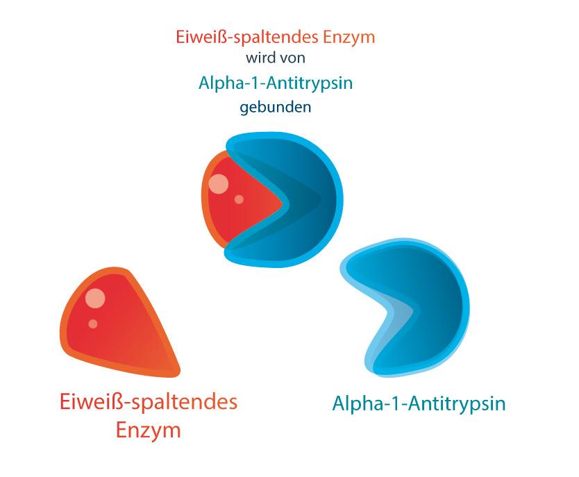 Kleines Eiweiß, große Wirkung: Alpha-1-Antitrypsin im Modell