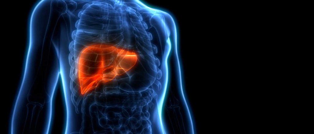 Hervorgehobenes Organ: die Leber